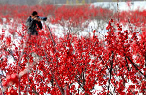 """威海桥头镇大片:""""新年红""""成冬日别样风景线"""