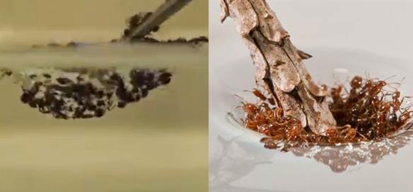 红火蚁入侵12省份 专家:危害人类健康 遇到快跑