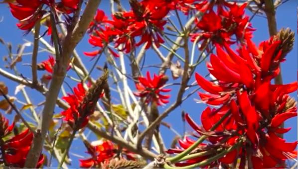 刺桐,泉州市的市花(图片来自纪录片《重返刺桐城》)