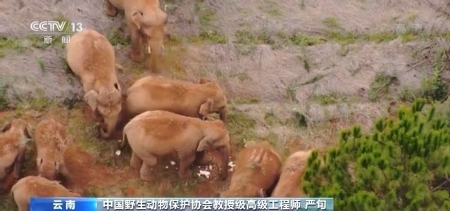"""""""野象团""""火啦!我国亚洲象种群保护现状如何?"""