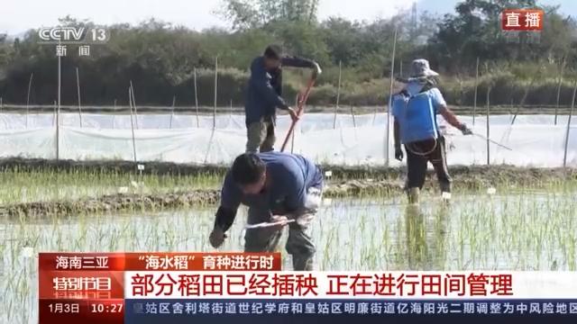 海水稻是怎么培育出来的?米饭味道是咸的吗?一探究竟→