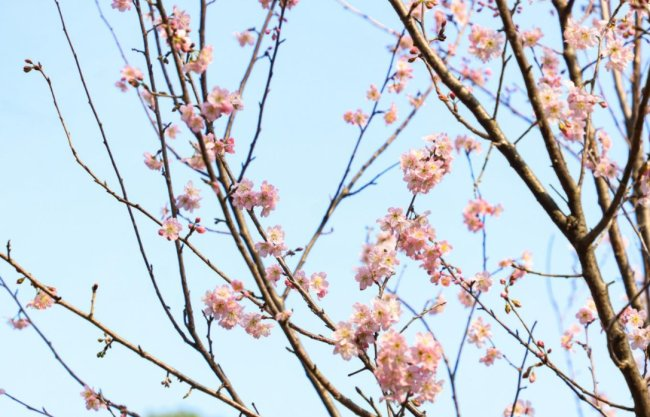 深圳观澜湖大地生态艺术园即日起至4月12日举办第五届樱花节