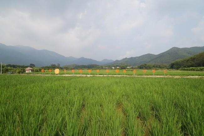 广州增城万寿农场:生态鸭稻,一地双收香得很