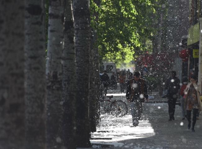 敏感肌注意防护 北京街头杨柳飞絮将迎高发期