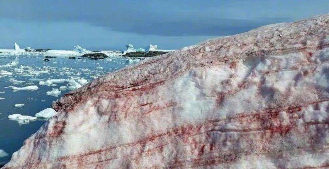 """警惕!南极又出现""""西瓜雪"""" 但这一点也不浪漫"""