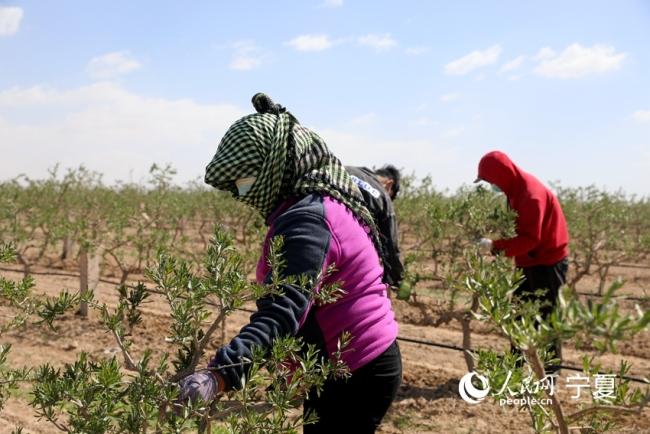 村民正在对枸杞苗进行修枝。人民网 高嘉蔚摄