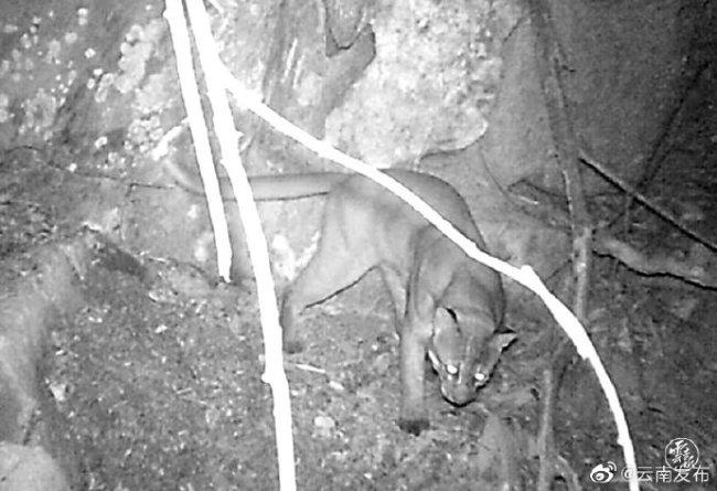 西双版纳首次拍到国家一级保护动物金猫影像