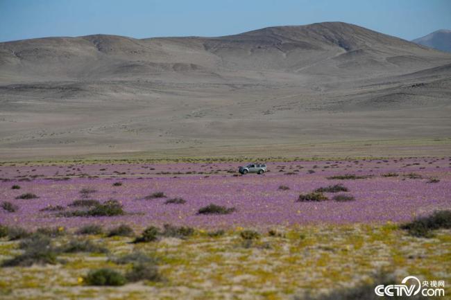 智利沙漠开出粉色花海