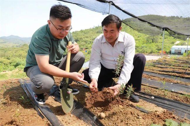 """这就是山东·泰安丨""""黄金""""出深山——泰山黄精产业发展铺就泰安乡村振兴之路"""