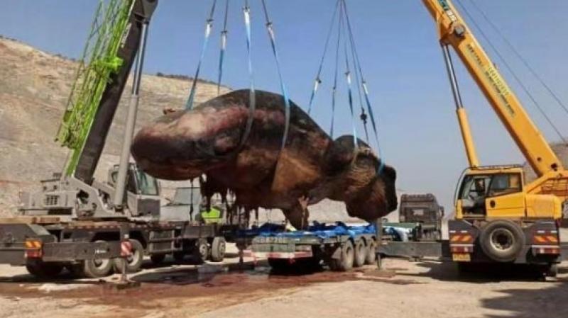 渤海海域首次發現擱淺抹香鯨